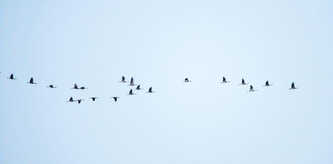 Common Crane  - Pierre Heimann