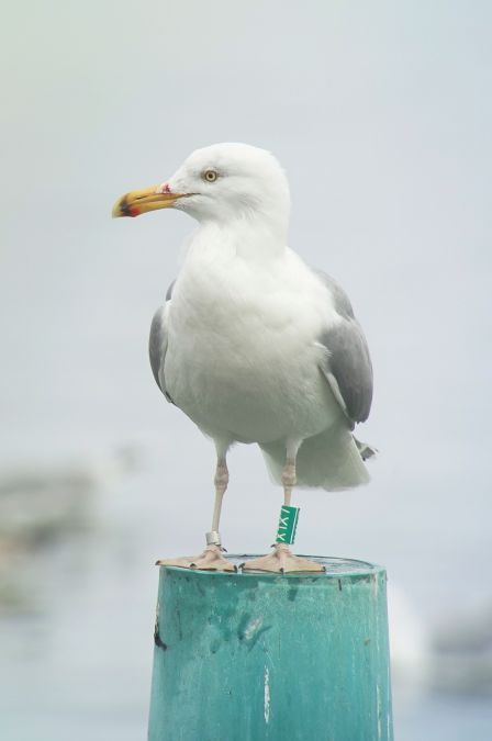European Herring Gull  - Sepp Trittenbass