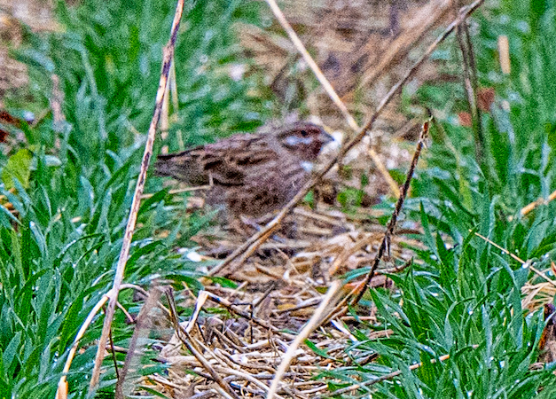 Pine Bunting  - Michel Maire