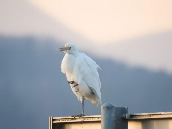 Cattle Egret  - Mehdi Azizi