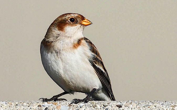 Snow Bunting  - Willy Daeppen