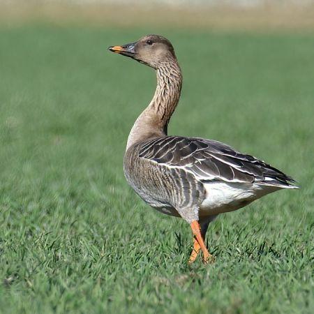 Bean Goose  - Marco Bagutti