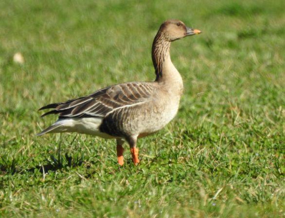 Bean Goose  - Morena Stornetta