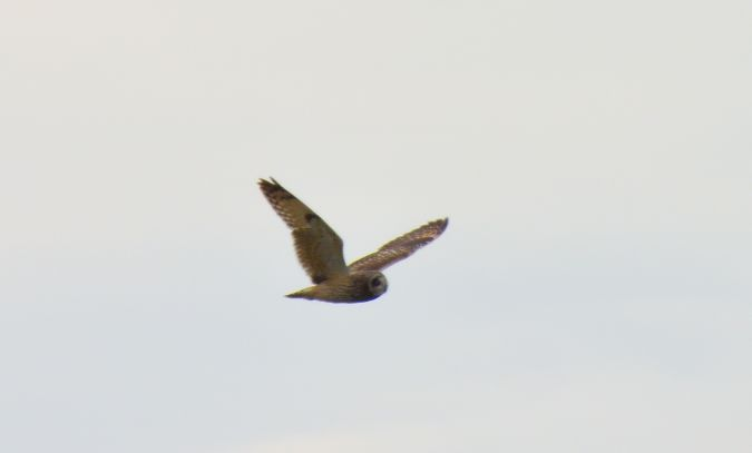 Short-eared Owl  - Reto Schwitter