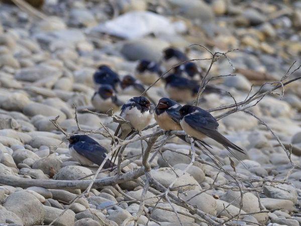 Barn Swallow  - Peter Steffen