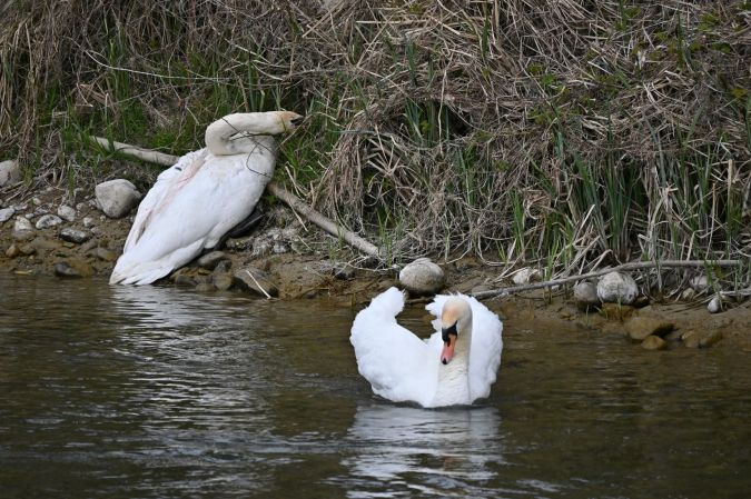 Mute Swan  - Beat Steigmeier
