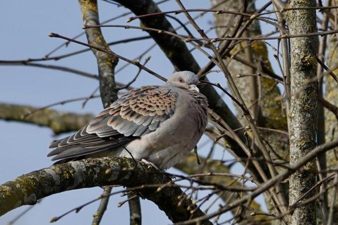 Oriental Turtle-dove  - Daniel Winzeler