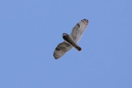 Short-eared Owl  - Michel Rogg