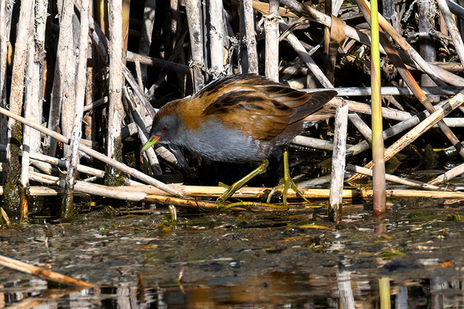 Little Crake  - Diego Salvadore