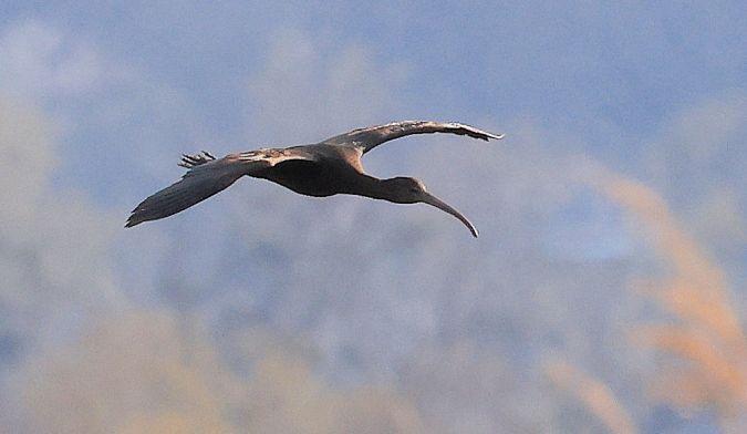 Glossy Ibis  - Patrick Monney