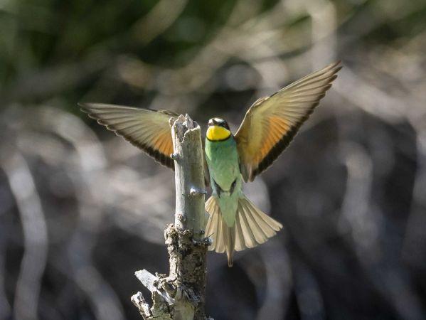 European Bee-eater  - Peter Steffen