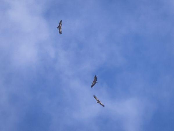 Griffon Vulture  - Peter Steffen
