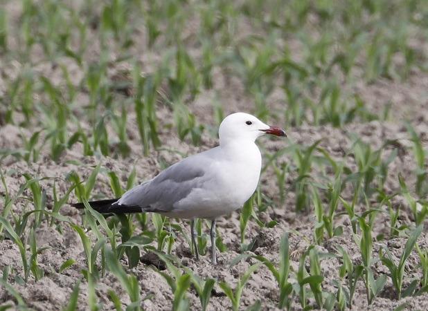 Audouin's Gull  - Arno Schneider