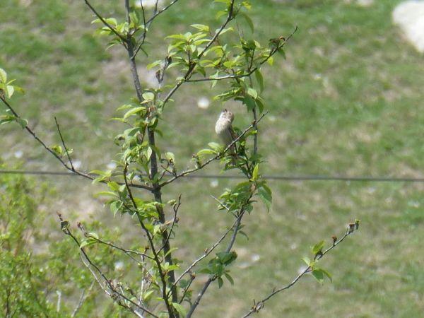 Common Rosefinch  - Thomas Usteri