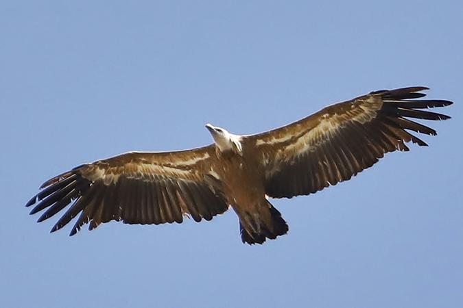 Griffon Vulture  - Manuel Saavedra