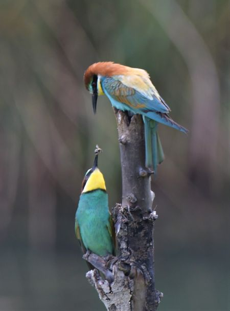 European Bee-eater  - Martin Kaufmann