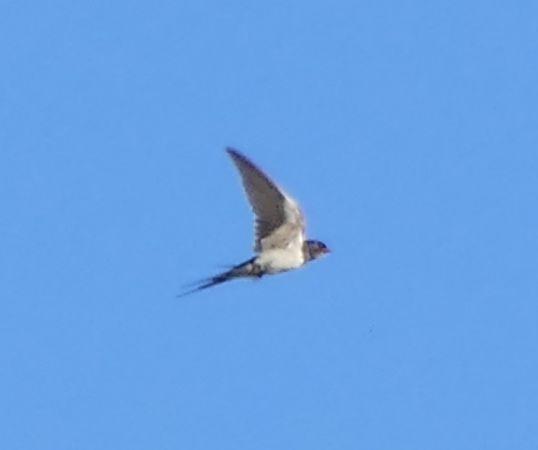 Barn Swallow  - Violetta Fontana