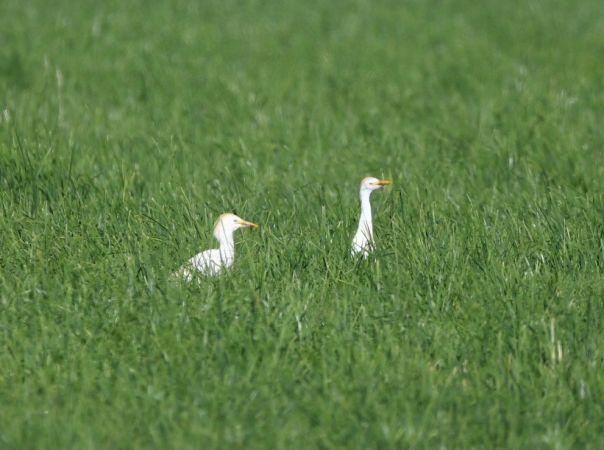 Cattle Egret  - Nicolas Dunant