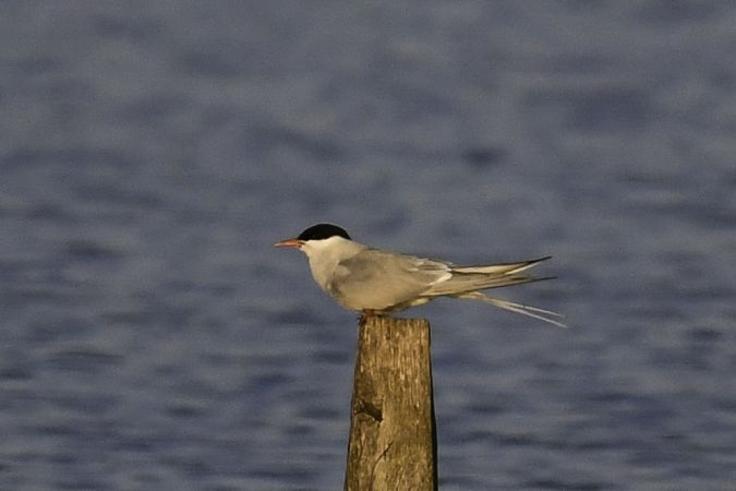 Arctic Tern  - Maryse Neukomm