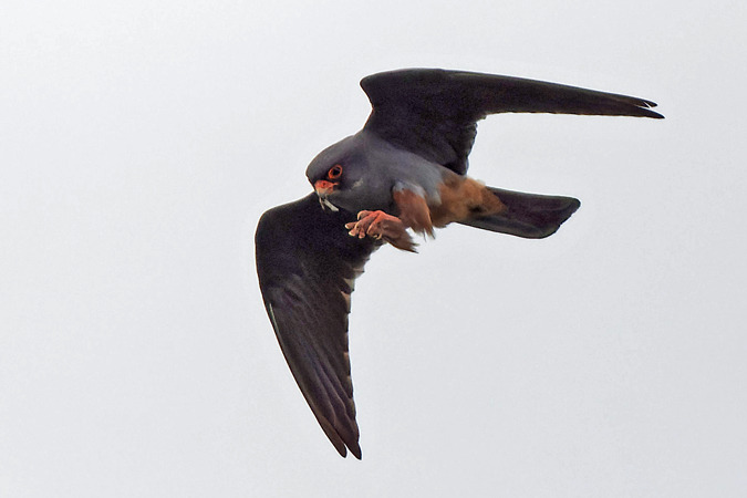 Red-footed Falcon  - Michel Kohler