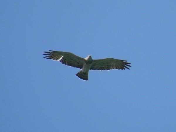 Short-toed Snake-eagle  - Yvan Schmidt