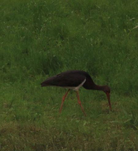 Black Stork  - Anonymous