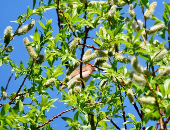 Common Rosefinch  - Mike Neale
