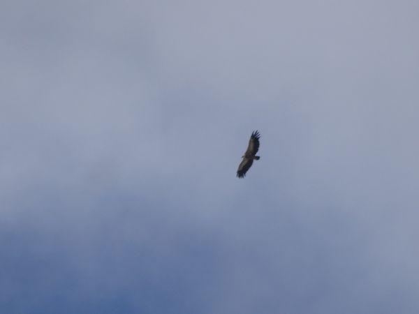 Griffon Vulture  - Michel Chesaux