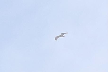 Short-toed Snake-eagle  - Florian Blandenier