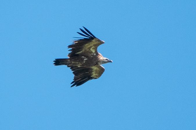 Griffon Vulture  - Adrian Schmid