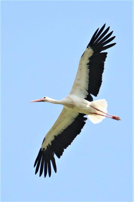 White Stork  - Werner Geiger