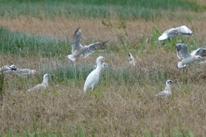 Cattle Egret  - Paul Stämpfli