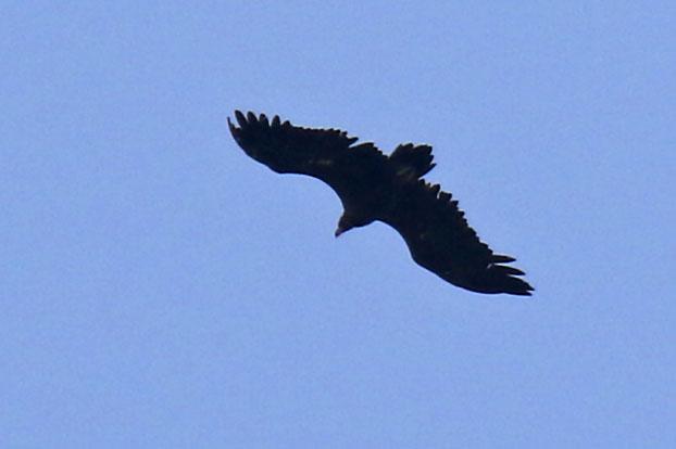 Cinereous Vulture  - Martin Wettstein