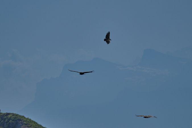 Griffon Vulture  - Emil Blumer
