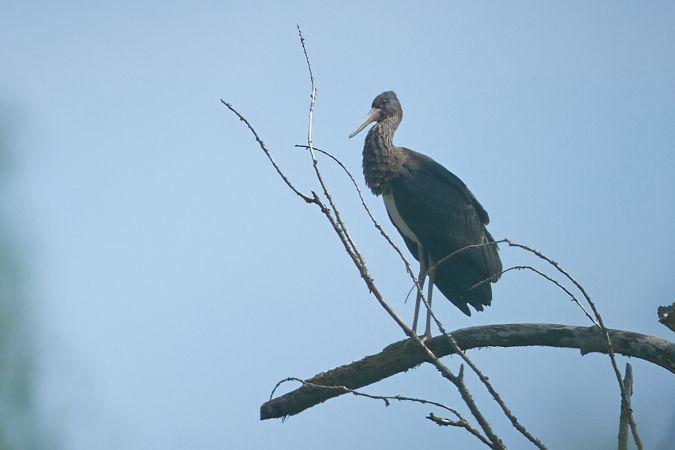 Black Stork  - Thomas Gorr