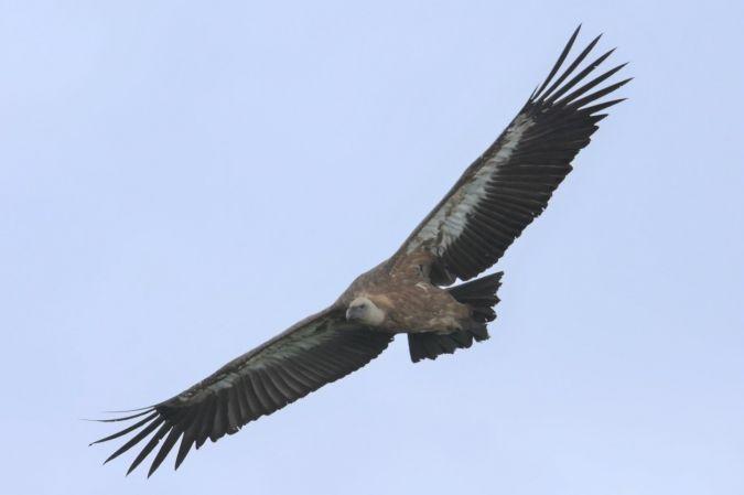Griffon Vulture  - Yannick Pochon