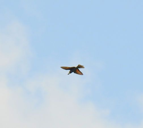 European Bee-eater  - Nathan Gut