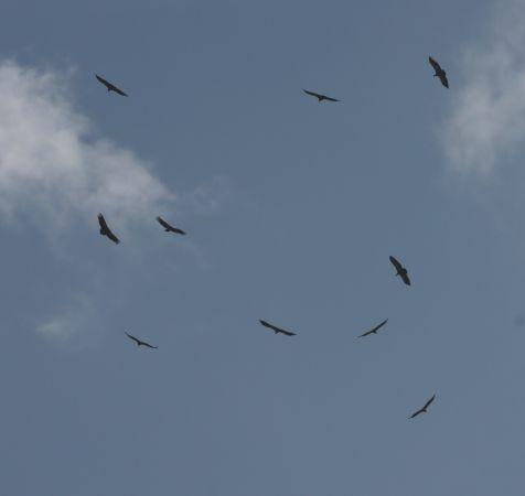 Griffon Vulture  - Hans Jürg Rey