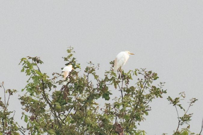 Cattle Egret  - Silvan Kyburz