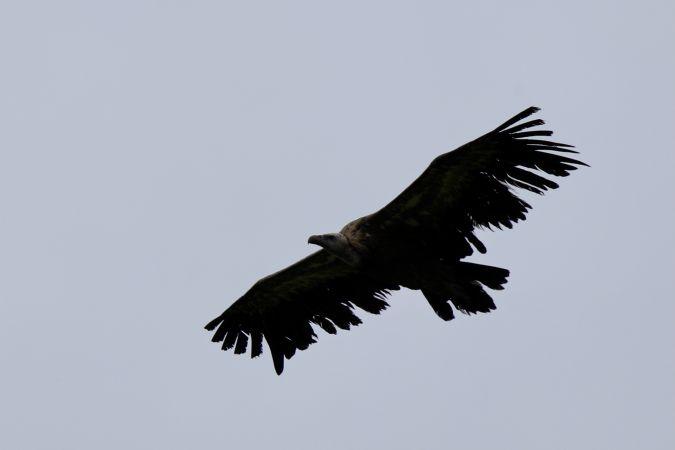 Griffon Vulture  - Petra & Mathias Herren