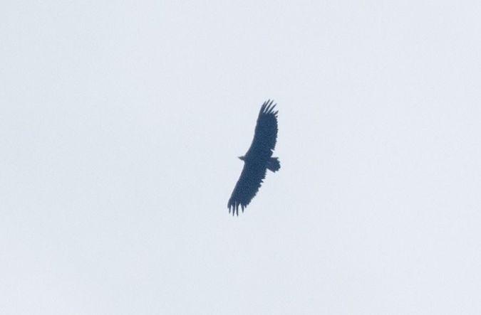 Cinereous Vulture  - Stefan Werner