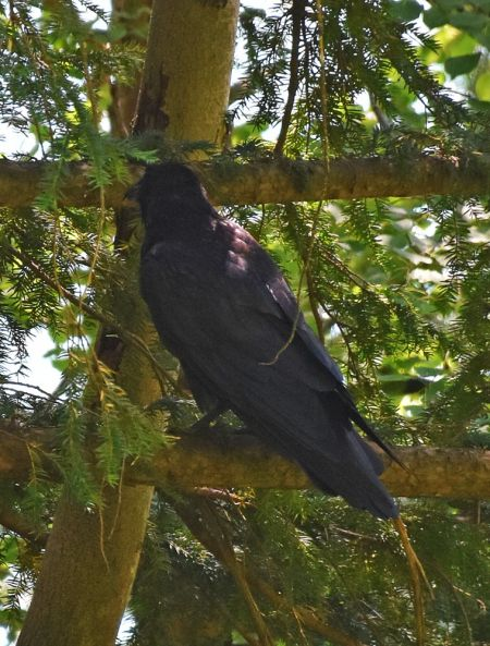 Common Raven  - Bert Stankowski