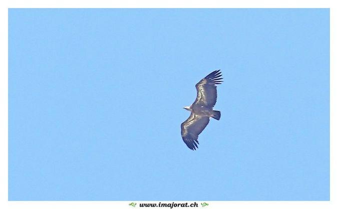 Griffon Vulture  - Gérald Porchet