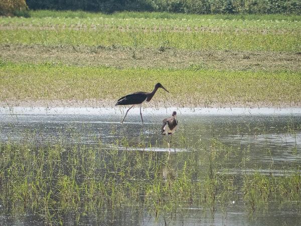 Black Stork  - Silvio Bartholdi