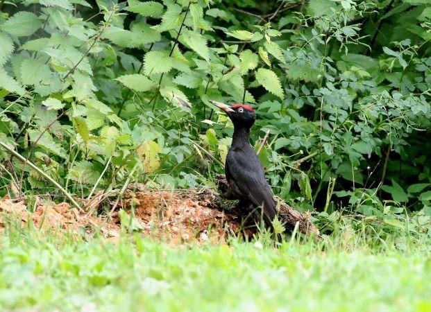 Black Woodpecker  - Stefan Linder