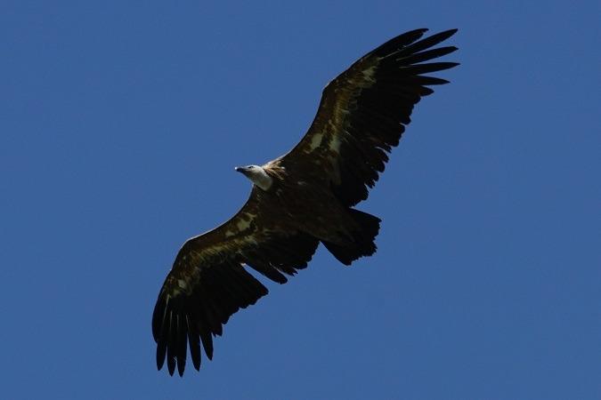 Griffon Vulture  - Markus Wyss