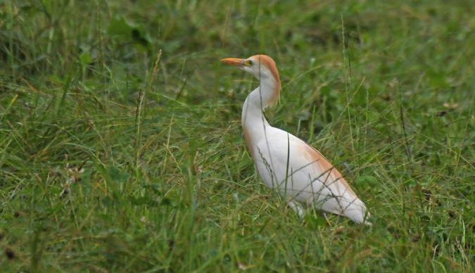 Cattle Egret  - Patrick Reymond