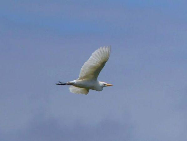 Cattle Egret  - Natascha Kunkel