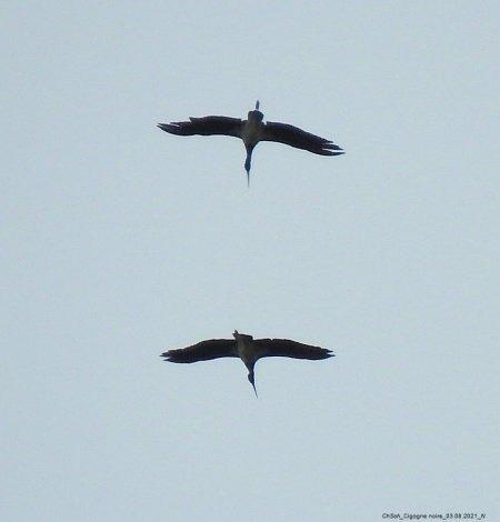Black Stork  - Christiane Schwaller