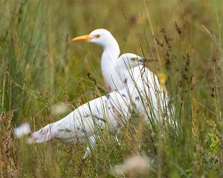 Cattle Egret  - Claudine _